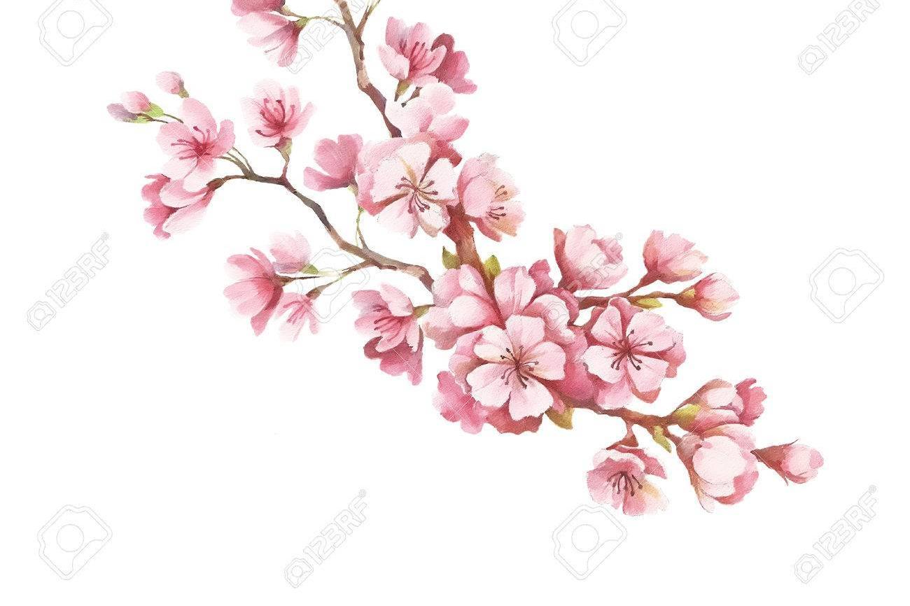 73659263-rama-de-flores-de-cerezo-mano-dibujar-la-ilustracic3b3n-acuarela-.jpg